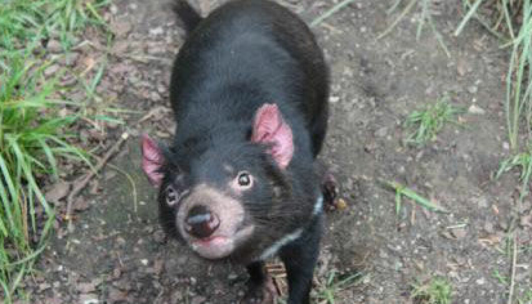 Tasmanske djevler er pungdyr, så ungene utvikles i pungen, akkurat som på kenguruer. Denne hun fikk i fjor fire av de syv ungene som kom til verden i Københavns Zoo. Anne Marie Lykkegaard