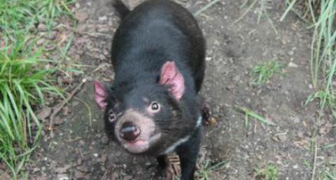 tasmansk djevel