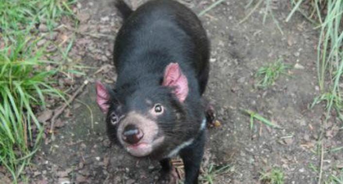 Tasmanske djevler er pungdyr, så ungene utvikles i pungen, akkurat som på kenguruer. Denne hun fikk i fjor fire av de syv ungene som kom til verden i Københavns Zoo. (Foto: Anne Marie Lykkegaard)