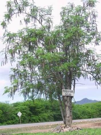 Moringa-treet kommer opprinnelig fra nordvest i India. (Foto: Wikimedia Commons)