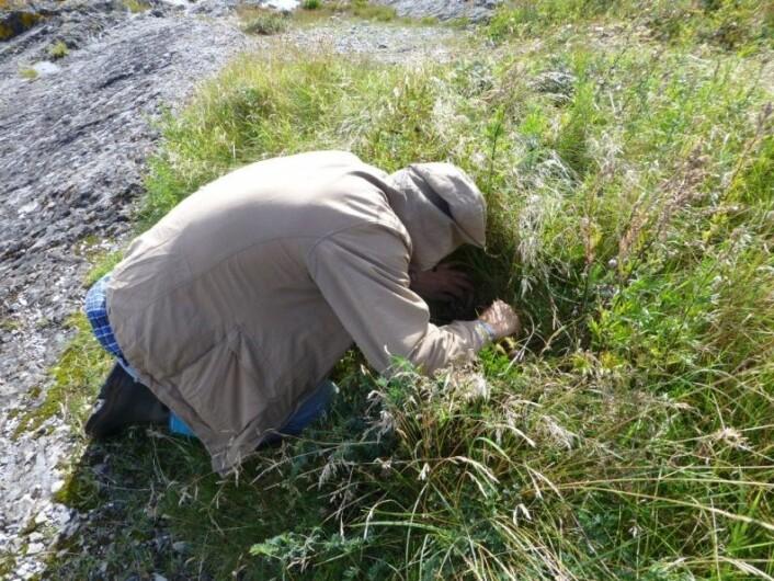 Thomas Læssøe i felt. Bildet viser metoden som blei brukt under feltarbeidet. Man må ligge lavt i terrenget, og bla seg fram mellom urter og gras. (Foto: Anne Molia)