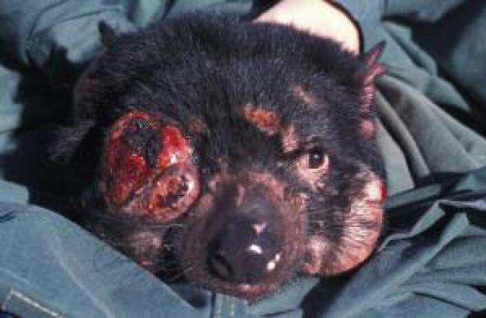 Her en tasmansk djevel kraftig angrepet av store kreftsvulster i ansiktet. (Foto: University of Tasmania)