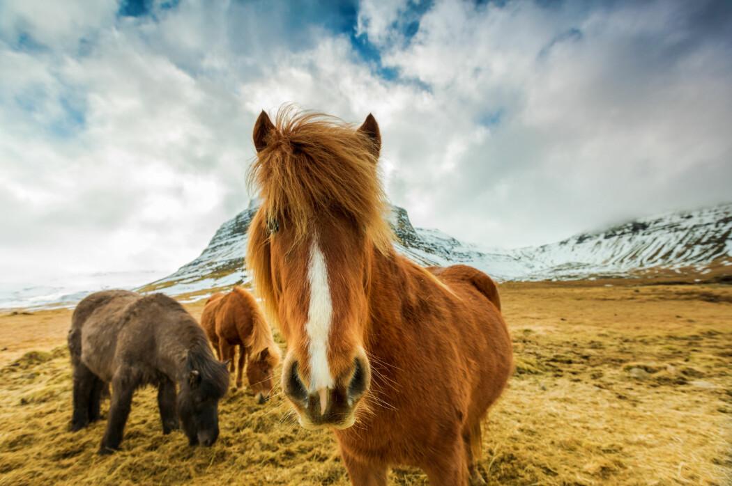 Den særegne islandske hesterasen var med vikingenes skip.
