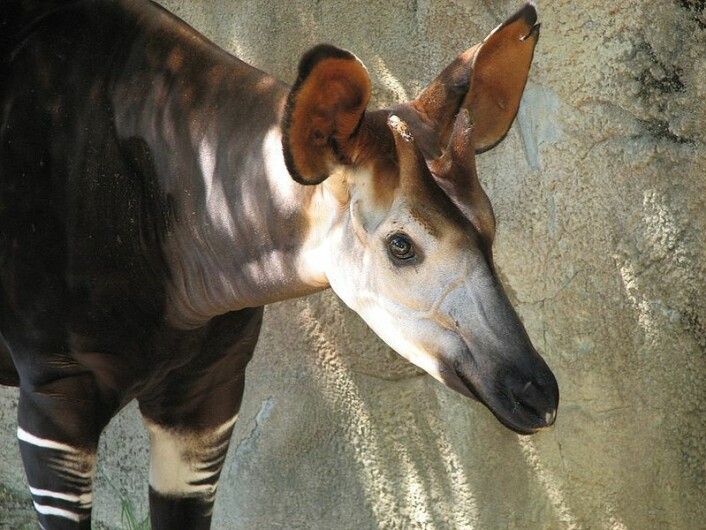 En okapi fotografert i dyrehage i USA. Okapien er den eneste andre sjiraffarten som lever i dag. (Foto: Trisha Shears/Wikimedia Creative Commons)