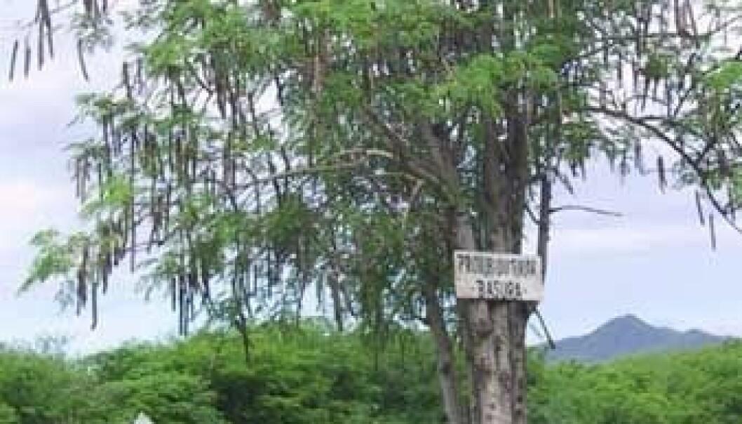 Det tropiske treet Moringa oleifera kan brukes til å rense vann for egg fra innvollsormer, noe som plager over en milliard mennesker på verdensplan. Wikimedia Commons
