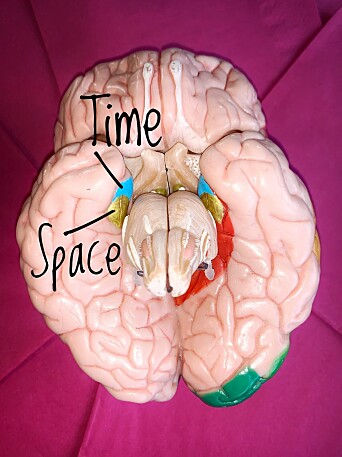 This plastic model of a human brain shows the location of our sense of space in gold, and the sense of time in sky blue. Together, these two areas make up the entorhinal cortex. The brain's centre for memories, the hippocampus, is also found here, but it is hidden behind and tightly interwoven with the entorhinal cortex.