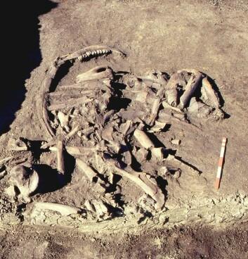 Knoklene ligger så tett sammen at de ifølge arkeologene var pakket inn i et skinn da de ble kastet ut i myra. (Foto: Charlie Christensen, Nationalmuseet)