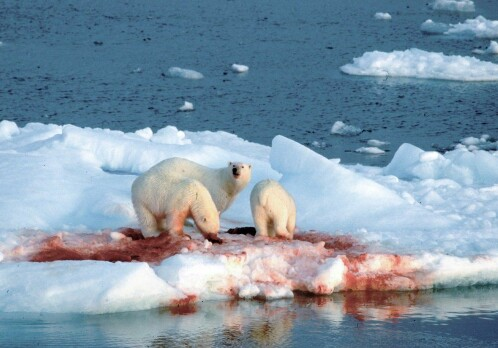 When the ice shrinks closer to shore, seals follow – into the jaws of polar bears