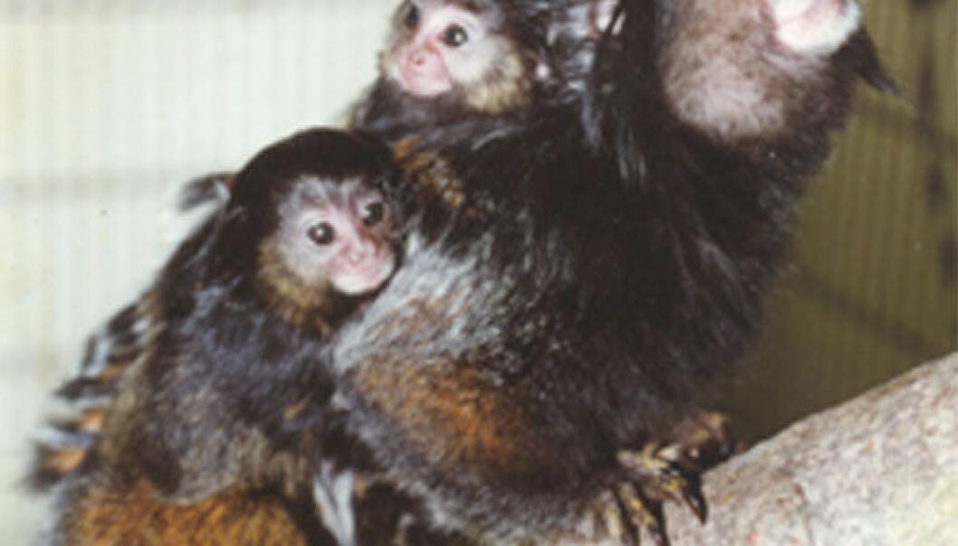 """""""Marmosett-aper bærer ofte celler med genene til en bror eller en søster. Det nære genetiske forholdet bidrar sannsynligvis til nære familieforhold. Foto: Jeffrey E. Fite."""""""
