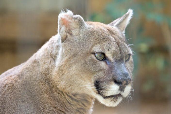 Pumaen er en av de viktigste brikkene i økosystemet i det sørlige Chile, nær den argentinske grensen. Opp mot 17 forskjellige dyr er avhengige av at pumaen skaffer kjøtt på bordet. (Foto: Colourbox)