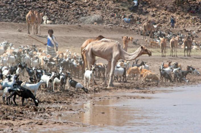 Etiopia og Sahel-området i Afrika ble rammet av gjentatte tørkekatastrofer på 1970- og 1980-tallet. Bilde fra Afar-regionen tatt i 2010. (Foto: iStockphoto)