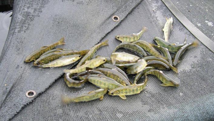 Smålaks settes ut i vassdrag for å styrke bestander som er truet. (Foto: Anne Gro Vea Salvanes)