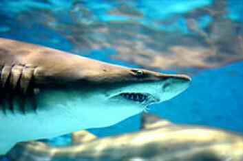"""""""Hai som denne bruker en annen strategi for ikke å synes i vannmassene, såkalt countershading - undersiden er hvit, så den ikke skal synes mot overflaten, der lyset kommer fra, mens ryggen er mørk, så den ikke skal skjelnes fra dypet. Men den vil fortsatt kaste skygge. (Illustrasjonsfoto: iStockphoto.com)"""""""