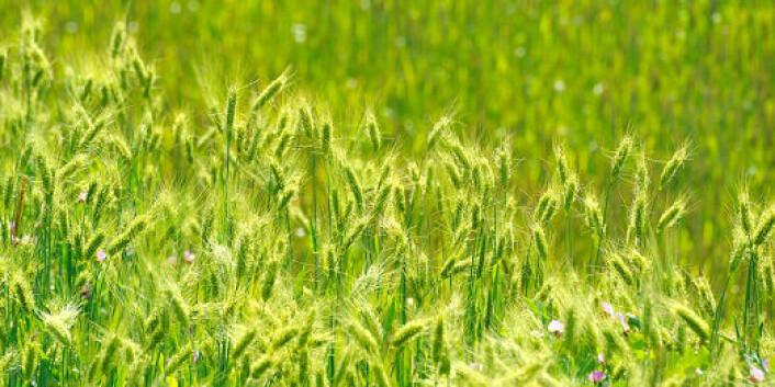 Forskere ved Bioforsk finner ut hvordan soppangrep på hvete kan reduseres. (Foto: Shutterstock)