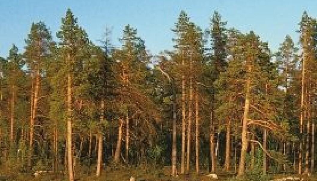 Verdens nordligste skog