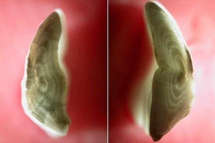 Øreknokkelen til henholdsvis kysttorsk (til venstre) og skrei. Forskjellen i formen på de innerste ringeane startet den snart 80 år lange diskusjonen om bestandsstatus til torsk i Nord-Norge. (Foto: Universitetet i Nordland)
