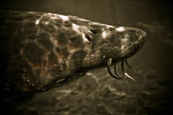 Det er ikke vanskelig å se for seg at en stor versjon av denne krabaten kan oppfattes som et sjømonster. (Foto: Michelle Minor/Wikimedia Creative Commons)