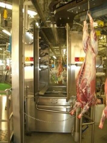 Kabinett for varmtvannspasteurisering av lammeslakt. (Foto: Grethe Ringdal, Animalia)