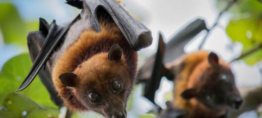 Hvordan kan en flaggermus lage så mye virus-trøbbel?