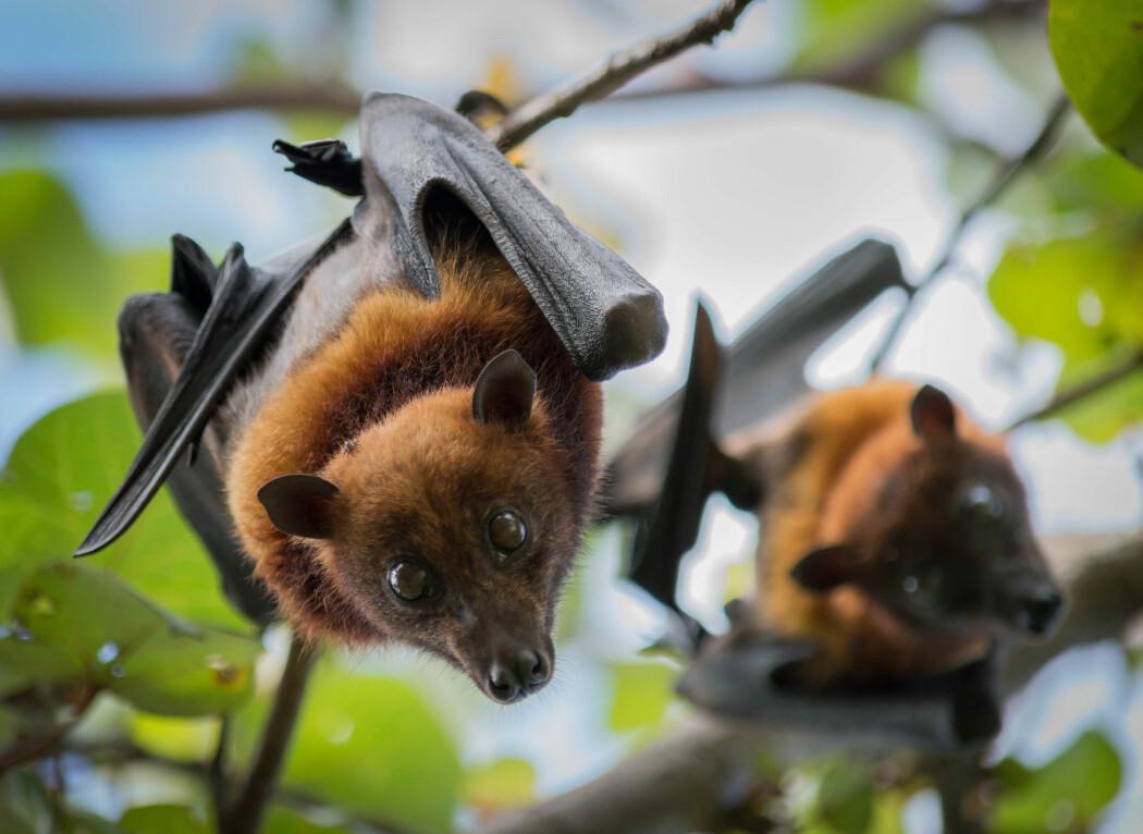 Flaggermus er rolige og stille dyr som helst holder seg langt unna oss. Men i Kina fanger de dem og selger dem på matmarkeder.