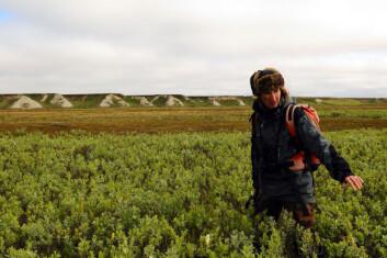 Rypa lever et beskyttet liv i krattet som dekker store deler av vidda. Dorothee Ehrich fra Universitetet i Tromsø teller ryper i russisk område. (Foto: Valeri Belov)