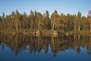 Finnmark ble taksert for første gang i perioden 2005-2011. Finnmarksvidda og kyststrøkene domineres av snaumark og fjellbjørkeskog. I de indre dalførene, særlig i Pasvik og deler av Karasjok er det mye furuskog. I alt er det 690 kvadratkilometer produktiv furuskog i fylket. Bildet viser furuskog i midnattsol, fra Gjøkvatnet i Pasvik. (Foto: Per K. Bjørklund/Skog og landskap)