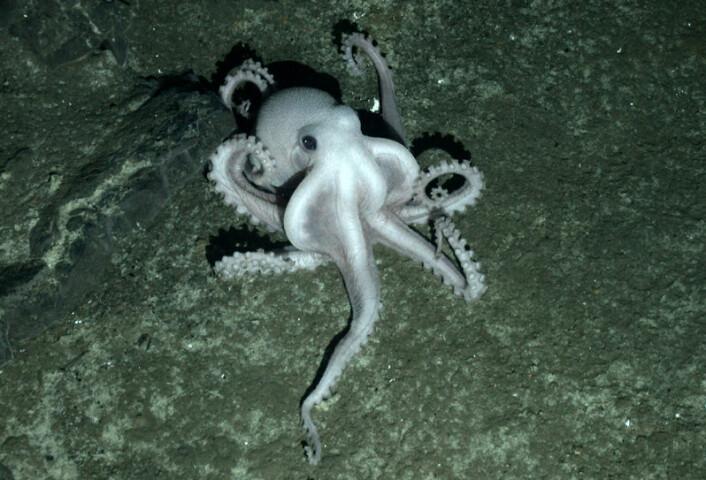 Uidentifisert blek blekksprut fotografert med kameraet til den ubemannede miniubåten Isis ved den svarte skorsteinen på East Scotia Ridge. (Foto: Oxford University)