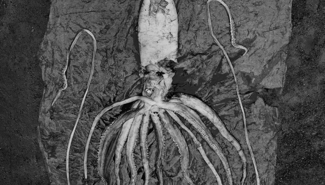 En av to kjempeblekkspruter som ble funnet ved Trondheim (Foto: NTNU Vitenskapsmuseet)