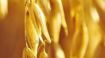 Kjemper mot soppgift i korn