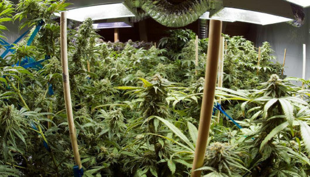 Norsk marihuana dyrkes i det små