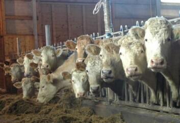 Kjøttfe står for en stadig større del av norsk kjøttproduksjon. (Foto: Jon Schärer)