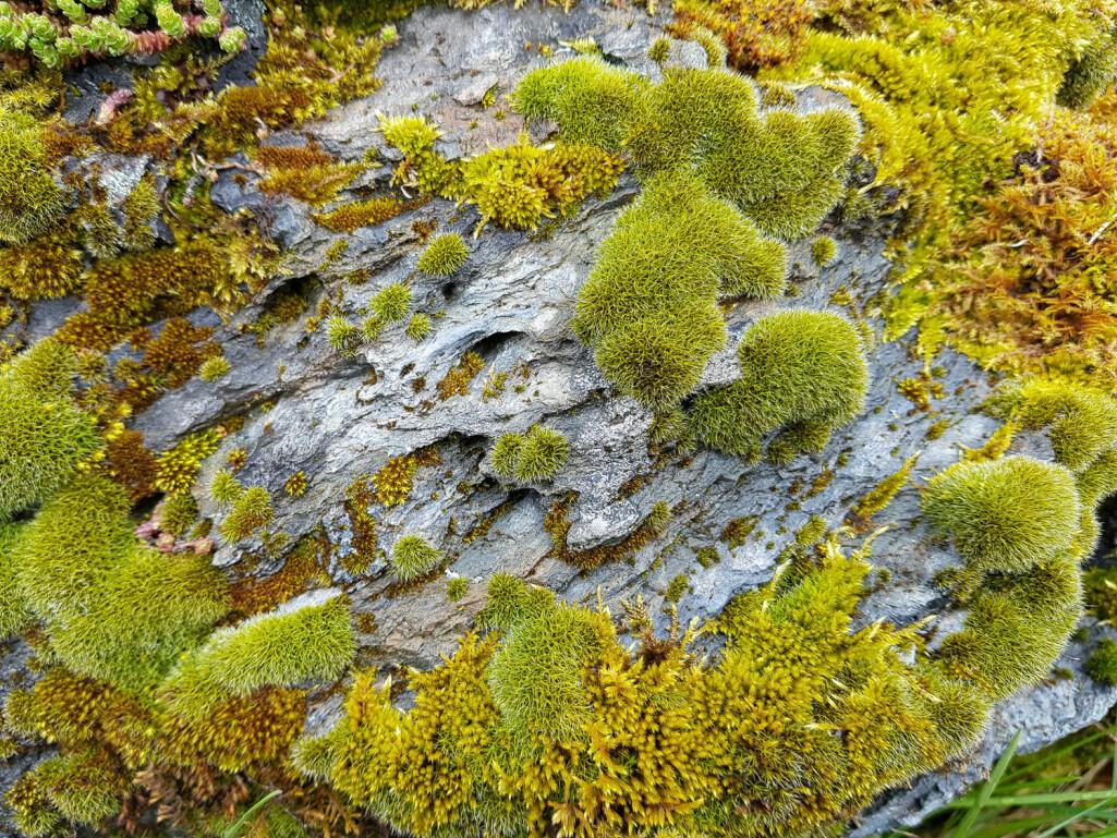 En ekte mos(e)aikk ute i det fri. Mosene dekker et fantastisk spekter av grønnfarger, med innslag av bruntoner og gråskjær. De danner vakre mosevegger på berg helt på egenhånd og du skal ikke bruke lang tid på en slik mosevegg før du innser at mosegrønn er mye mer enn bare en nyanse.