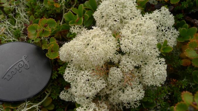 Dette er arten som utgjør de populære moseveggene (og mosedekorasjonene som selges før jul). Kvitkrull er en lavart og har ingenting med mose å gjøre, annet enn at de kan dele voksested.