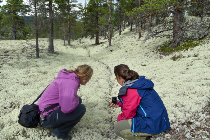 Mattene av kvitkrull kan være helt tette og se ut som et hvitt teppe på bakken. Arten er allikevel veldig sårbar for tråkk og slitasje, og siden den vokser svært sakte bør innhøsting gjøres med forsiktighet.