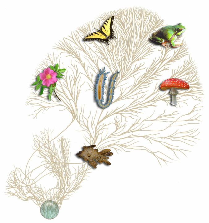 Livets tre viser hvordan artene på jorda er beslektet. Sopp er nærmere beslektet med dyr enn med planter.