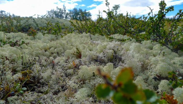 Begerlavslekta Cladonia er en artsrik slekt med omtrent 90 arter. I slekta finner vi reinlavene som utgjør sju arter, som blant annet kvitkrull, lys reinlav og grå reinlav. Kvitkrull er tett forgreina, med avrundede hoder som gjør den veldig dekorativ.