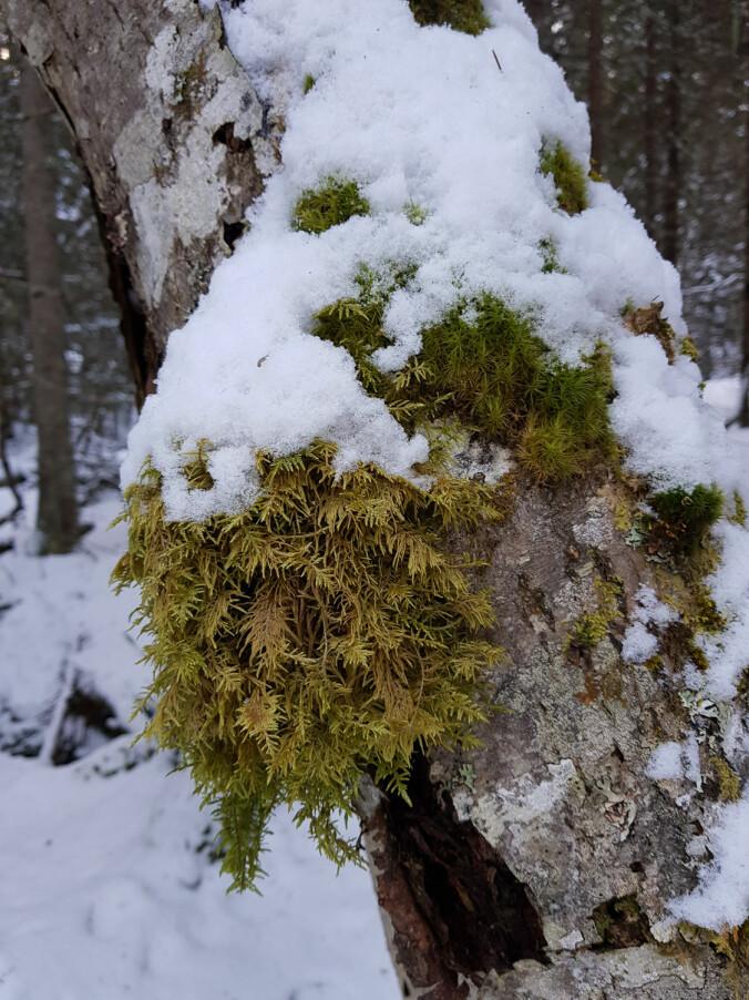 Etasjemose Hylocomium splendens er en veldig vanlig moseart som finnes i hele Norge. Den vokser stort sett på skogbunnen og kan henge som tjukke matter over stein og kanten av bergvegger. Her har den tatt bolig på en bjørkestamme.