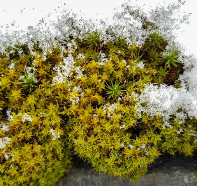 Putehårstjerne Syntrichia ruralis er kanskje en av de vakreste mosene vi har, men kun på fuktigere dager når den er i full «blomst». Den tørker nemlig inn når det blir for tørt vær, og er da litt vanskelig å få øye på. Å tåle uttørking er en god egenskap å ha, særlig fordi den vokser på stein og berg, noe som gjør den utsatt for skiftende fuktighet. Siden denne mosen trives på harde underlag, danner den ekte «mosevegger» i urbane strøk.
