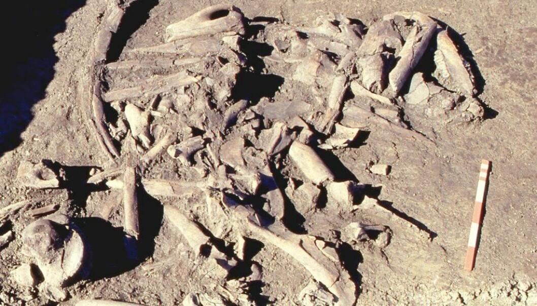 11 000 år gamle elgknokler omgitt av mystikk