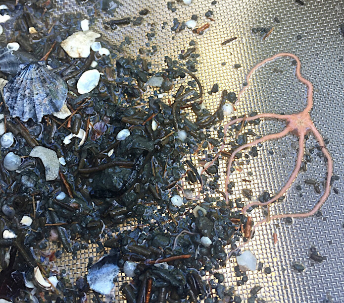 Her er slangestjerne, muslinger, børstemark og rester av skall og rør. Dette er det som er igjen etter sikting av en prøve fra en gammel sjøbunn i Grenlandsfjordene.