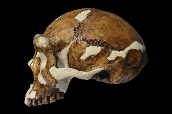 Pekingmennesket, her representert ved ein fossil skalle, kan ha vore meir avansert enn forskarane har trudd til no. (Foto: Russell L. Ciochon, University of Iowa)