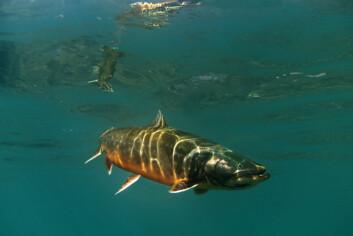 Røya er verdens nordligste ferskvannsfisk. (Foto: Audun Rikardsen)