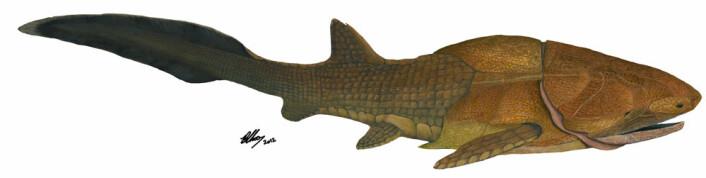 Slik kan Entelognathus primordialis ha sett ut, en 419 millioner år gammel panserhai, som kan tvinge oss til å skrive om historien til kjeven vår. (Foto: (Illustrasjon: Brian Choo))