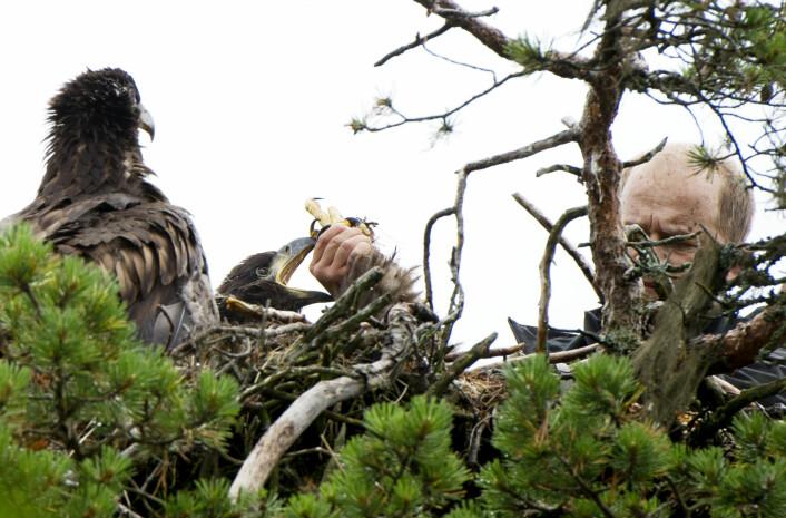 Havørnungene er ikke spesielt interessert i å bli med forsker Trond Johansen ned på bakken. Men forskningen kan gi oss viktige svar på hvordan miljøgifter påvirker fuglene på toppen av næringskjeden. (Foto: Ingun A. Mæhlum)