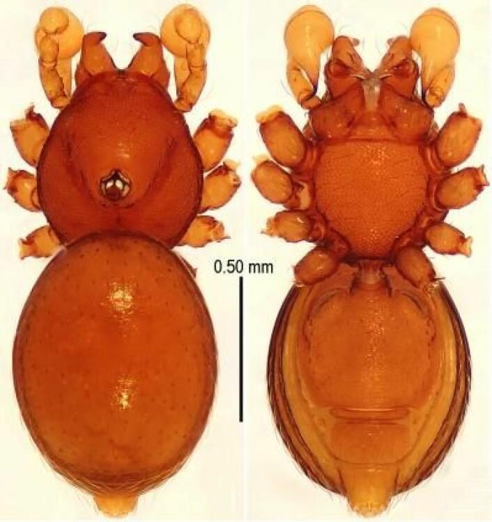 Tetrablemma ziyaoensis er en av de nye artene. Legg merke til pansringen på undersiden på bildet til høyre. Den har fått navnet ziyaoensis etter området der den ble funnet. (Foto: Lin Y, Li S (2014) New cave-dwelling armored spiders (Araneae, Tetrablemmidae) from Southwest China)