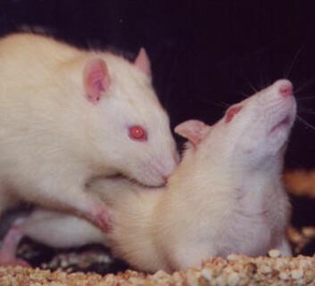 """Når nyfødte rotter ble stresset hemmet det nydanning av nerveceller i hippocampus. Det førte til overømfintlighet for stress i voksen alder. Her har et par hvite laboratorierotter en god dag. """