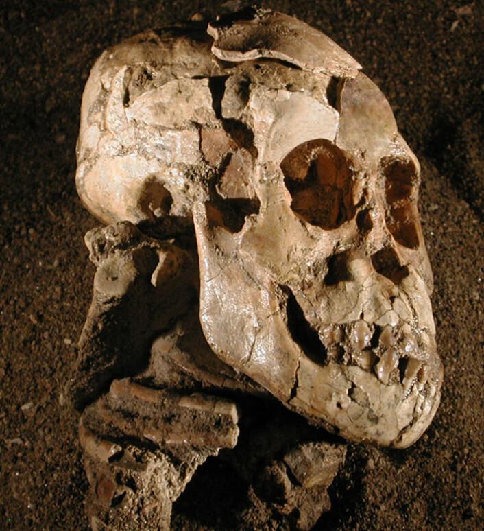 Fossilet av Selam med høyre skulderblad synlig under kraniet. (Foto: Zeray Alemseged/Dikika Research Project)