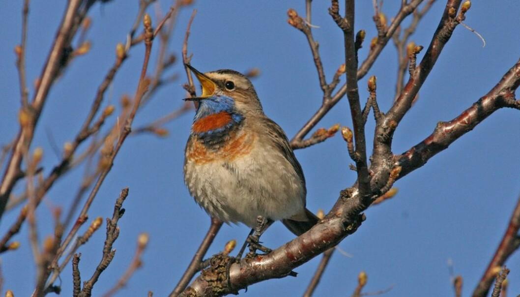 Blåstrupe er en fargeklatt i den norske fuglefaunaen i fjellet. Hans Petter Kristoffersen / Skog og landskap