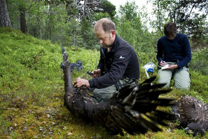 Havørnungene er nesten fullt utvokst i begynnelsen av juli. De største havørnene kan kan bli en meter lang, og ha et vingespenn på opp til 265 cm. Den er Nord-Europas største rovfugl. (Foto: Ingun A. Mæhlum)