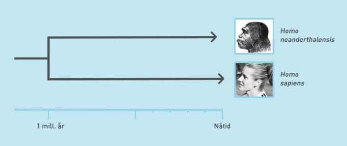 Evolusjonsmessig kan neandertalere og Homo sapiens ha skilt lag allerede for en million år siden, sier ny studie. Den motsier tidligere studier som mener at skillet skjedde for mindre en halv million år siden. De siste neandertalerne holdt stand helt til for mindre enn 40 000 år siden. (Foto: (Illustrasjon: David Brabrand/Wikipedia/forskning.no))